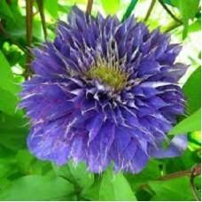 Клематис крупноцветковый Мульти Блю