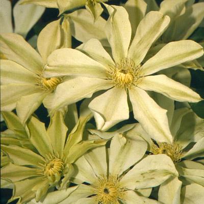 Клематис крупноцветковый Мунлайт