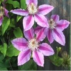 Клематис крупноцветковый Нелли Мозер