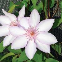 Клематис крупноцветковый Нина