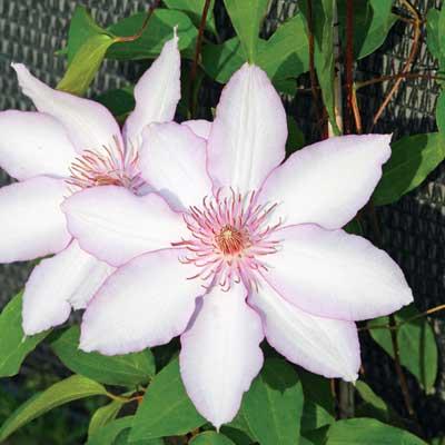 Купить саженцы Клематис крупноцветковый Нина