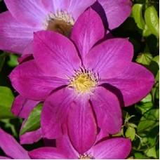 Клематис крупноцветковый Ноктюрн
