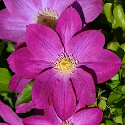 Купить саженцы Клематис крупноцветковый Ноктюрн