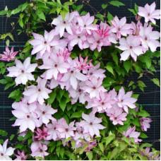 Клематис крупноцветковый Омоширо