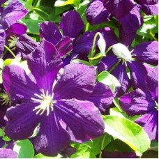 Клематис крупноцветковый Полиш Спирит