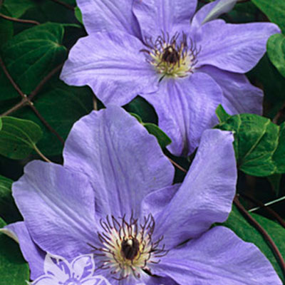 Клематис крупноцветковый Рамона