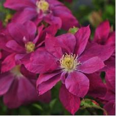 Клематис крупноцветковый Ред Стар