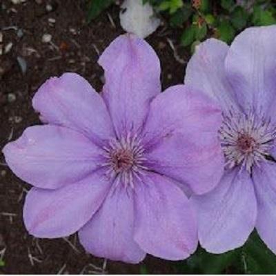 Клематис крупноцветковый Регина