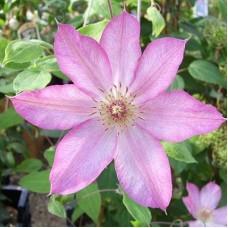 Клематис крупноцветковый Руран