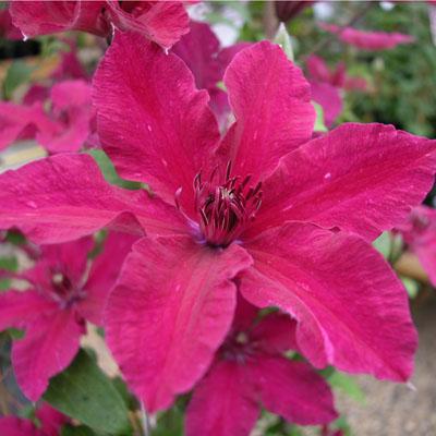 Клематис крупноцветковый Рутел