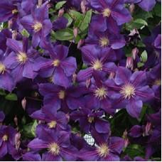 Клематис крупноцветковый Стар оф Индия