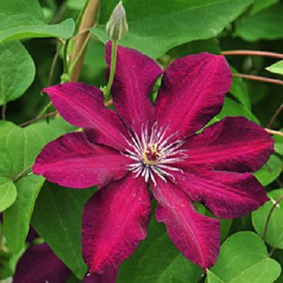 Клематис крупноцветковый Стасик