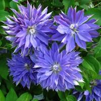 Клематис крупноцветковый Тешио