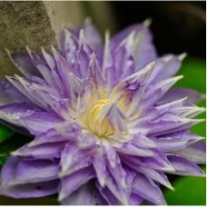 Клематис крупноцветковый Тирислунд