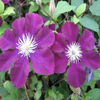 Клематис крупноцветковый Варшавска Найк