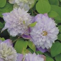 Клематис крупноцветковый Вероника Чойс