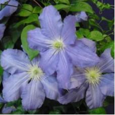 Клематис крупноцветковый Вистула