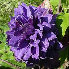 Клематис крупноцветковый Вивьян Пеннел