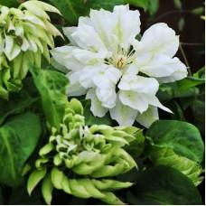 Клематис крупноцветковый Юки-но-Ёсо'ой