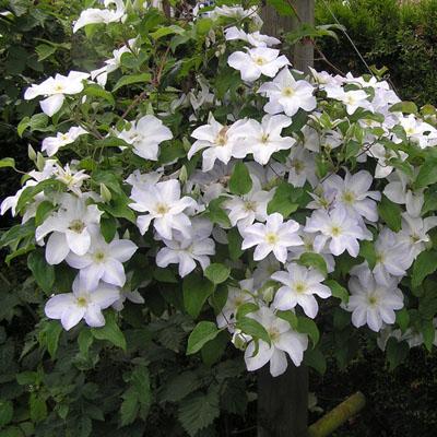 Клематис крупноцветковый Юкикомаши