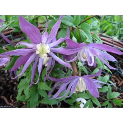 Клематис ботанический Виолет Пинк