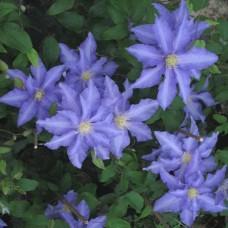Клематис крупноцветковый Анна Герман