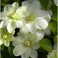 Клематис крупноцветковый Дженси Крим