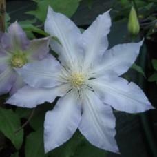 Клематис крупноцветковый Глэдис Пикард