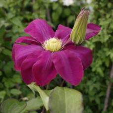 Клематис крупноцветковый Хоши-но-Фламенко