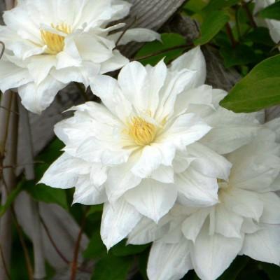Клематис крупноцветковый Исаго