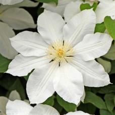 Клематис крупноцветковый Изидор