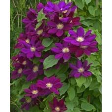 Клематис крупноцветковый Лех Качинский