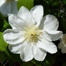 Клематис крупноцветковый Лемон Шифон