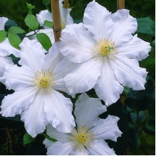 Клематис крупноцветковый Токи