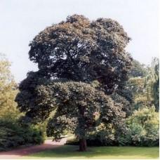 Клен ложноплатановый Атропурпуреум