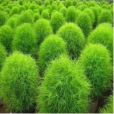Кохия Зеленая