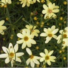 Кореопсис мутовчатый Мунбим