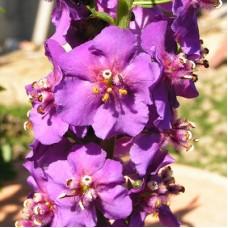 Коровяк фиолетовый Пурпурэтта