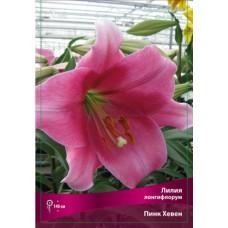Лилия лонгифлорум (длинноцветковая) Пинк Хевен