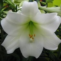 Лилия лонгифлорум (длинноцветковая) Вайт Хевен