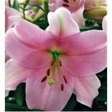 Лилия лонгифлорум (длинноцветковая) Дольчетто