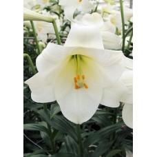 Лилия лонгифлорум (длинноцветковая) Уорлд Трейд