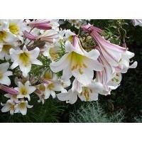 Лилия трубчатая Ригейл Альбум