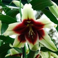 Лилия видовая Куси Мая