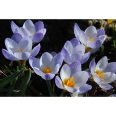 Крокус ботанический Блю Перл
