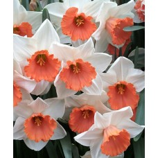 Нарцисс крупнокорончатый Хромаколор