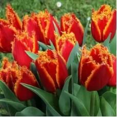 Тюльпан Бахромчатый Ай то Холланд