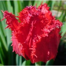 Тюльпан Бахромчатый Барбадос