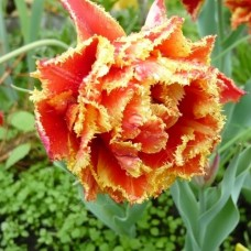 Тюльпан Бахромчатый Брисбен