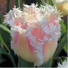 Тюльпан Бахромчатый Галери